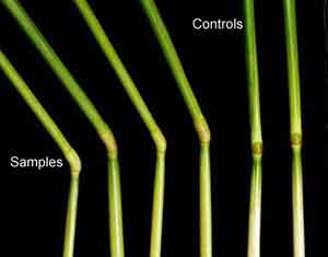 Plant Elongation