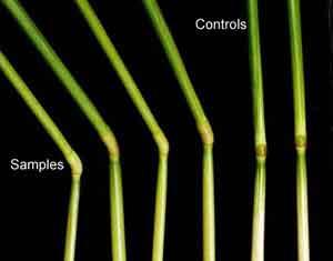 Plant Elongation