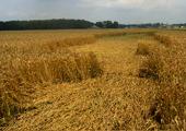 6-9-07-elizabethcitync_random-wheat_cropped